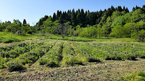 20190519ラベンダーの畑草取り前2