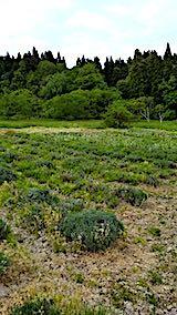 20190523草取り後のラベンダーの畑