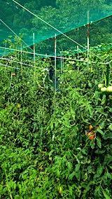 20190827野菜畑トマト