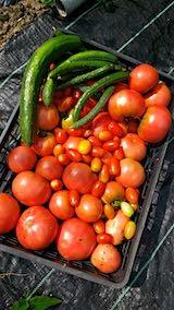 20190827今日収穫したトマト
