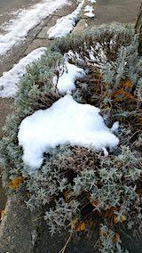 20191209一部雪をかぶった歩道の早咲きラベンダー