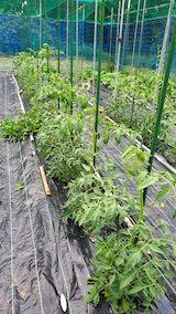 20200620野菜畑の様子