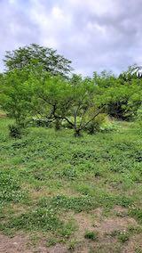 20200620八重紅枝垂れ桜のある斜面の草刈り前の様子1