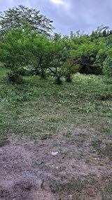20200620八重紅枝垂れ桜のある斜面の草刈り後の様子1
