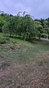 20200620八重紅枝垂れ桜のある斜面の草刈り後の様子2