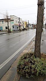 20200109歩道の早咲きラベンダーこいむらさきと東大通り