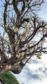 20200405速歩からの帰り道で望んだ梅の花1