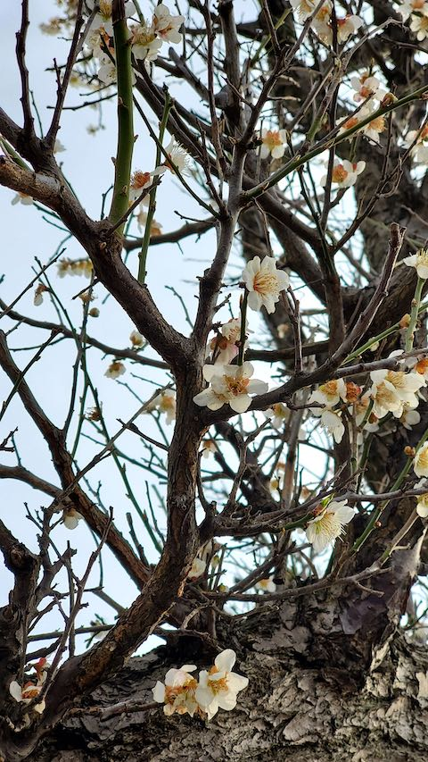 20200405速歩からの帰り道で望んだ梅の花2