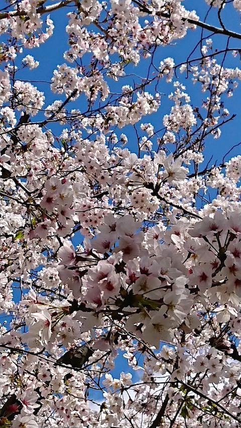 20200405京都天神川沿いの桜1