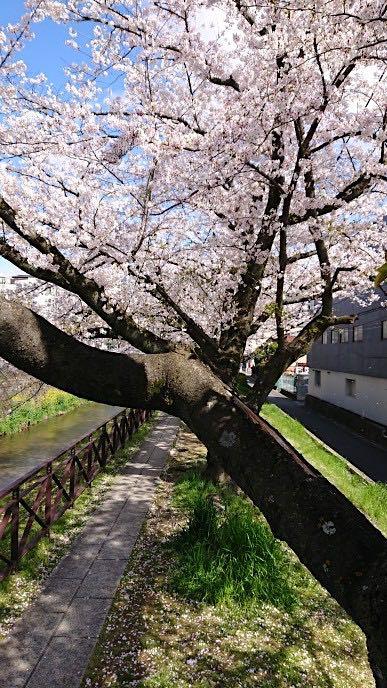 20200405京都天神川沿いの桜2