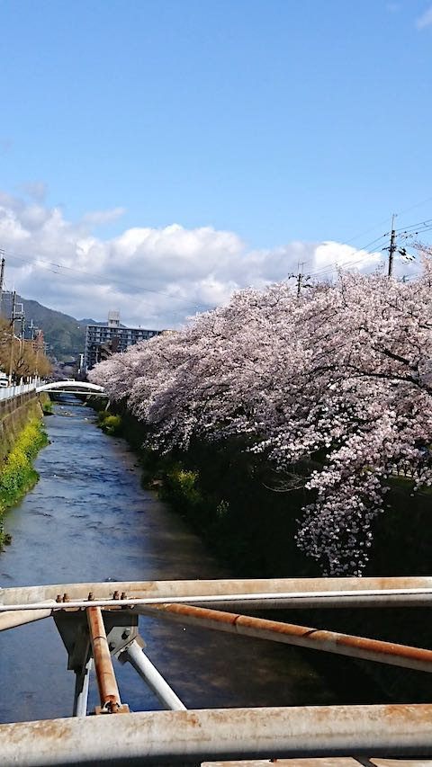 20200405京都天神川沿いの桜3