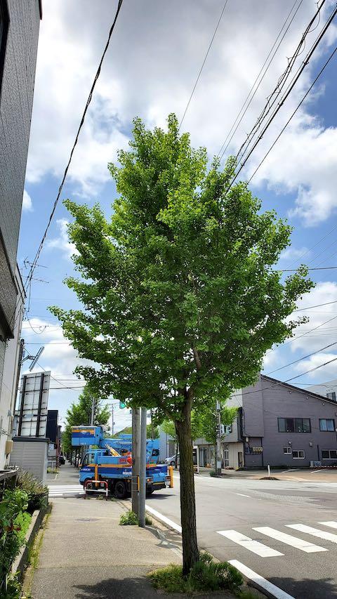 20200518お店前のイチョウの木