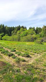 20200518ラベンダーの畑
