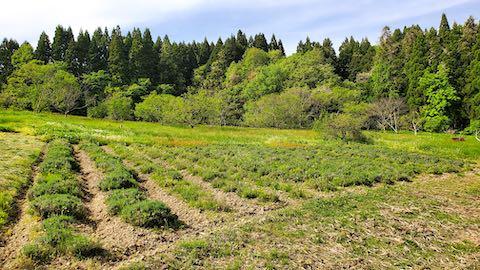 20200518ラベンダー畑の様子
