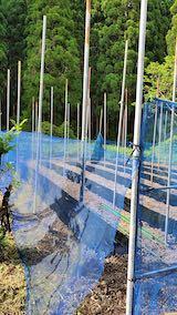 20200518野菜畑のネット張り1