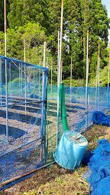 20200518野菜畑のネット張り2