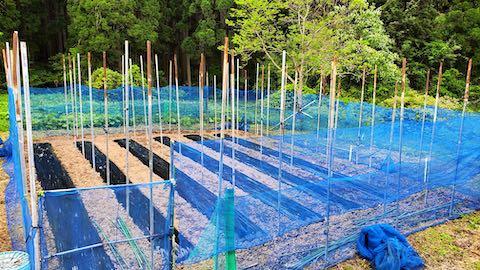 20200518野菜畑のネット張り5