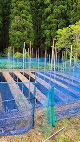 20200518野菜畑のネット張り3