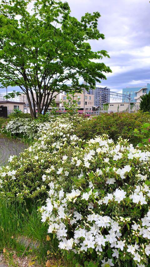 20200519速歩途中の公園内に咲く白いツツジ