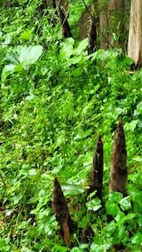 20200521タケノコの収穫3
