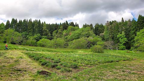 20200522ラベンダー畑の様子