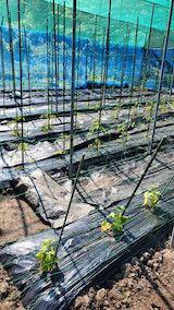 20200529野菜畑の防草シート2
