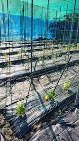 20200529野菜畑に防草シートを敷く作業2