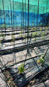 20200604野菜畑