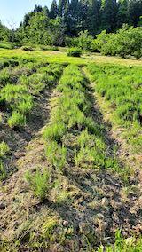 20200604ラベンダー畑の草取り前の様子1