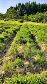 20200604ラベンダー畑の草取り前の様子2