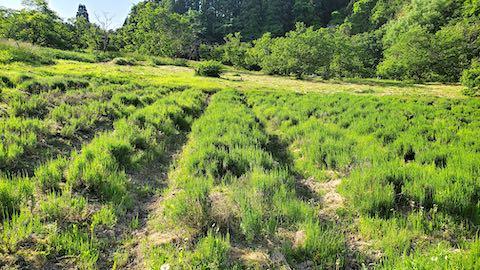 20200604草取り前のラベンダー畑の様子