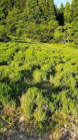 20200604ラベンダー畑の草取り途中の様子2