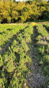 20200604ラベンダー畑の草取り途中の様子1
