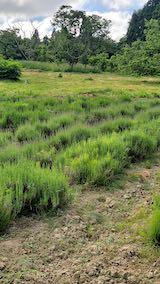 20200607草取り前のラベンダー畑1