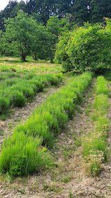 20200607草取り前のラベンダー畑2
