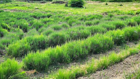 20200607草取り前のラベンダー畑の様子3