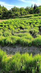 20200607草取り途中のラベンダー畑