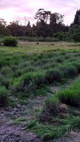 20200607草取り後のラベンダー畑1