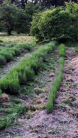 20200607草取り後のラベンダー畑2