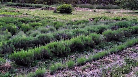 20200607草取り後のラベンダー畑の様子5