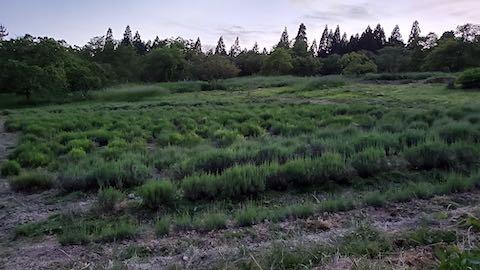 20200607草取り後のラベンダー畑の様子6