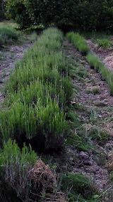 20200607草取り後のラベンダー畑3