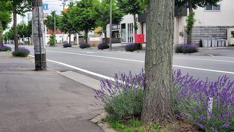 20200620東大通り歩道に咲く早咲きラベンダーこいむらさき2