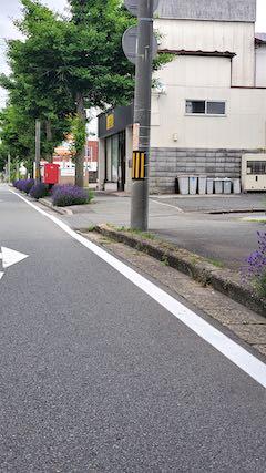 20200620東大通り歩道に咲く早咲きラベンダーこいむらさき4