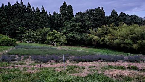20200620ラベンダー畑の様子2