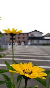 20200630速歩途中で望んだ黄色い花