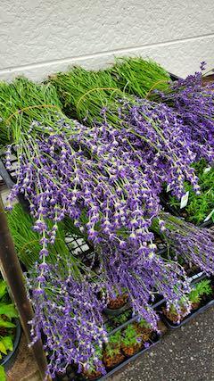 20200630中咲きラベンダーおかむらさきの生花1