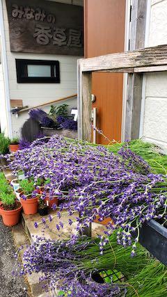 20200630中咲きラベンダーおかむらさきの生花2