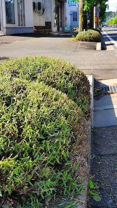 20200703刈り込みの済んだ早咲きラベンダーこいむらさき2
