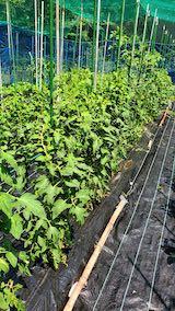 20200703野菜畑